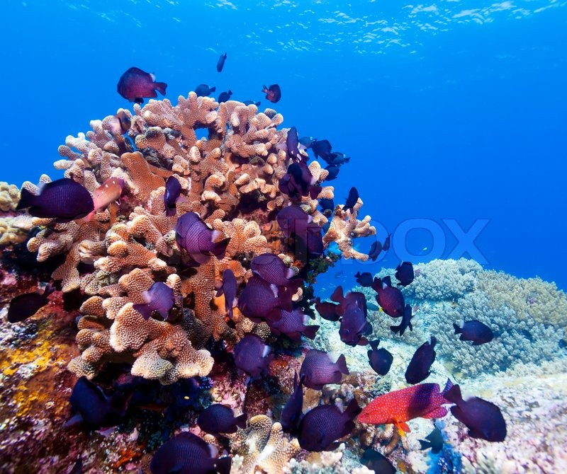 Tropical Fishes near Colorful Coral Reef | Stock Photo ...