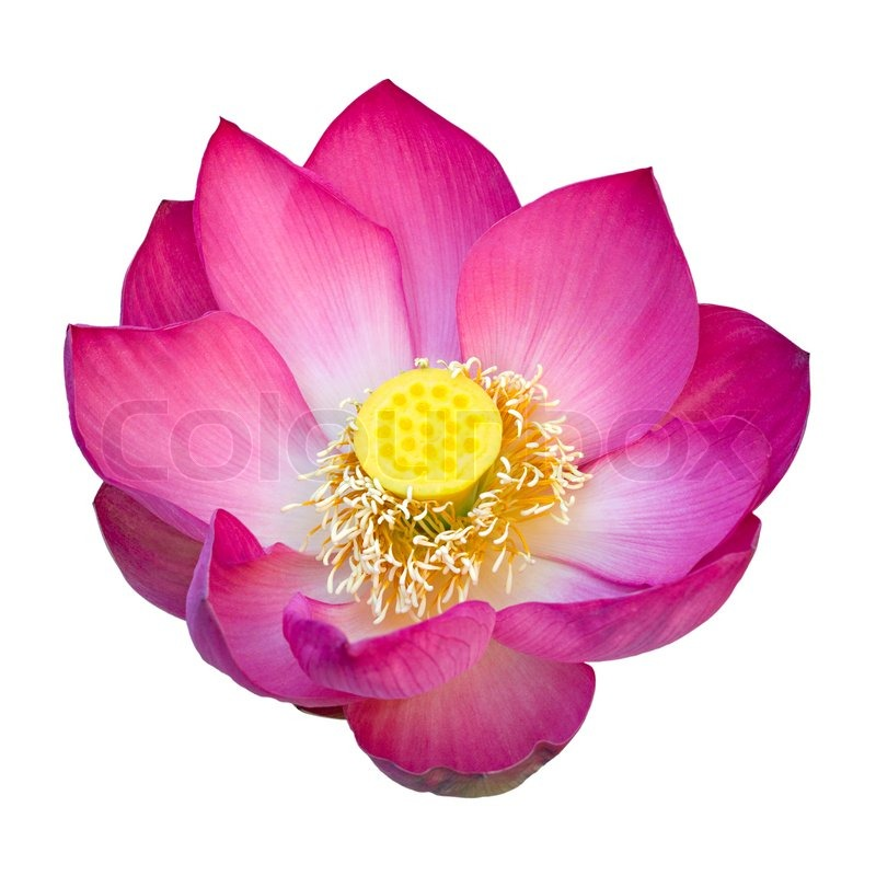 Indian lotus flower isolated on white background stock photo indian lotus flower isolated on white background stock photo colourbox mightylinksfo
