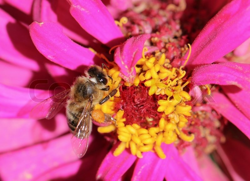 Stock image of 'Bumblebee collection pollen on the red flower'