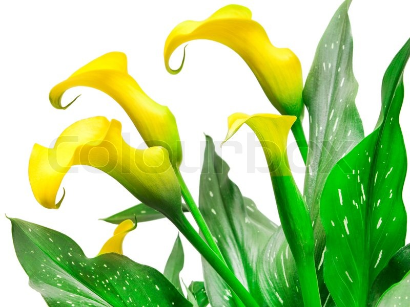 calla lily flower  stock photo  colourbox, Beautiful flower