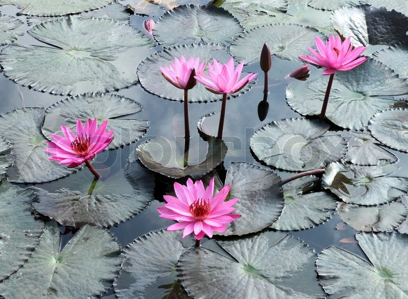 Water Lily Lotus Flower And Leaves Stock Image Colourbox