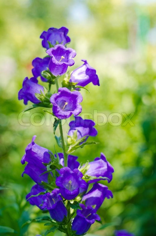 Blue bell shaped flower spike stock photo colourbox blue bell shaped flower spike stock photo mightylinksfo