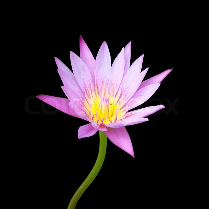 Pink lotus flower blooming on black background stock photo colourbox mightylinksfo