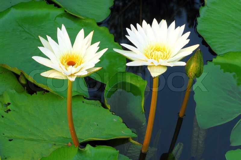 Two white lotus flower stock photo colourbox mightylinksfo