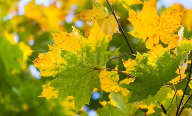 Yellow and green autumn maple leaves background Selective focus, stock photo