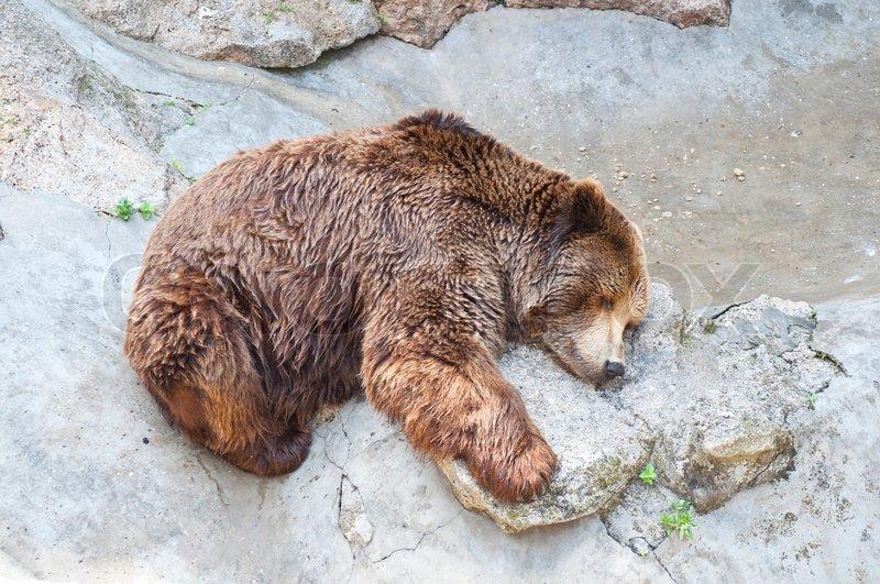 Grizzlybär schlafen im Zoo | Stockfoto | Colourbox