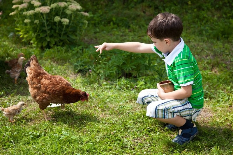 Boy Is Feeding Chickens Stock Photo Colourbox
