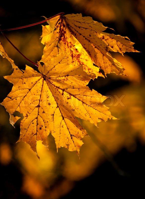 Orange autumn maple leaves background Selective focus, stock photo