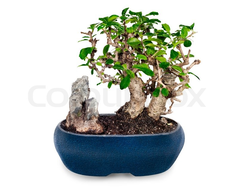 miniatur bonsai baum und stein in blau topf isoliert auf. Black Bedroom Furniture Sets. Home Design Ideas