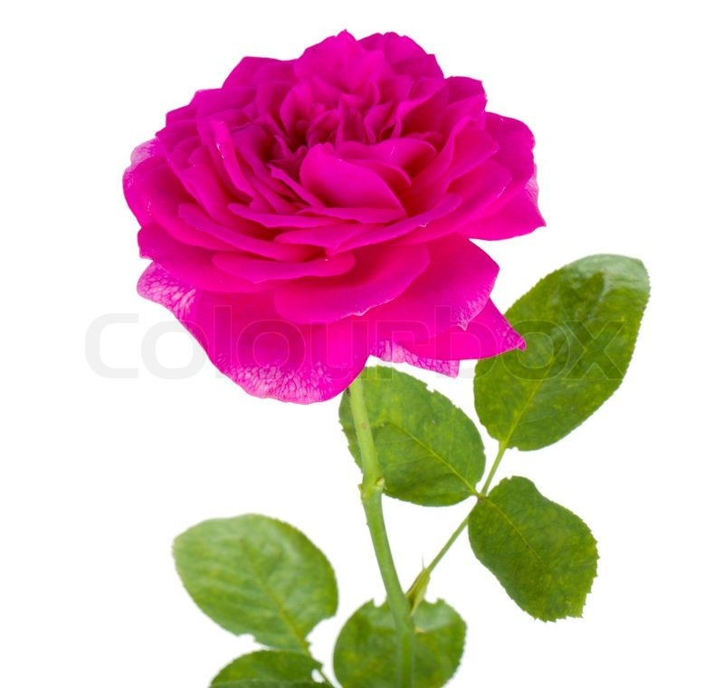 Pink rose flower stock photo colourbox mightylinksfo