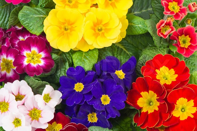 Assorted spring primulas colorful flower bed stock photo colourbox