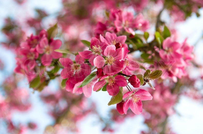 træ lyserøde blomster