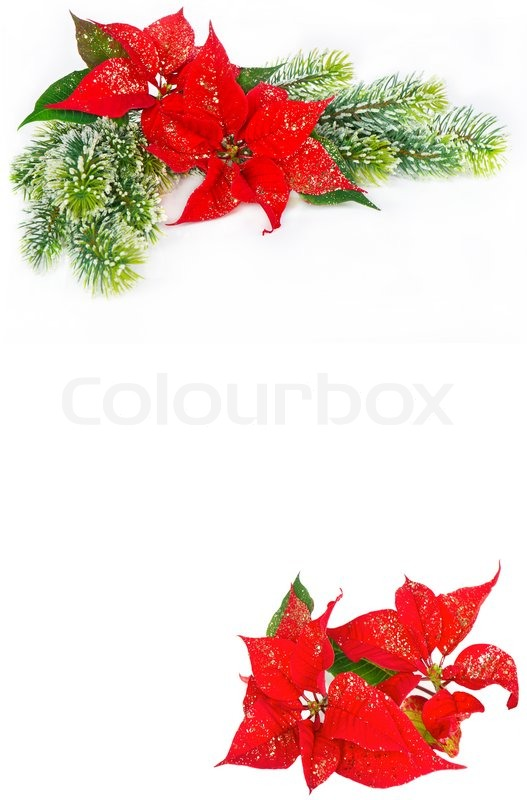 festive background with christmas flower poinsettia stock photo colourbox - Christmas Poinsettia