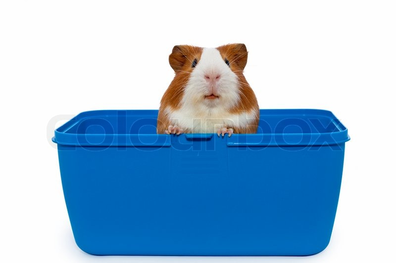 Guinea pig in a plastic animal carry cage stock photo for Plastic bin guinea pig cage