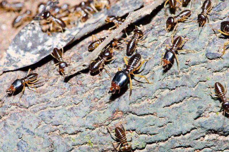 Gruppe von Termiten Holz Esser im tropischen Regenwald.   Stockfoto ...