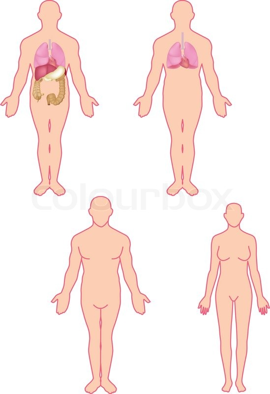 Human anatomy stock vector colourbox human anatomy vector ccuart Image collections