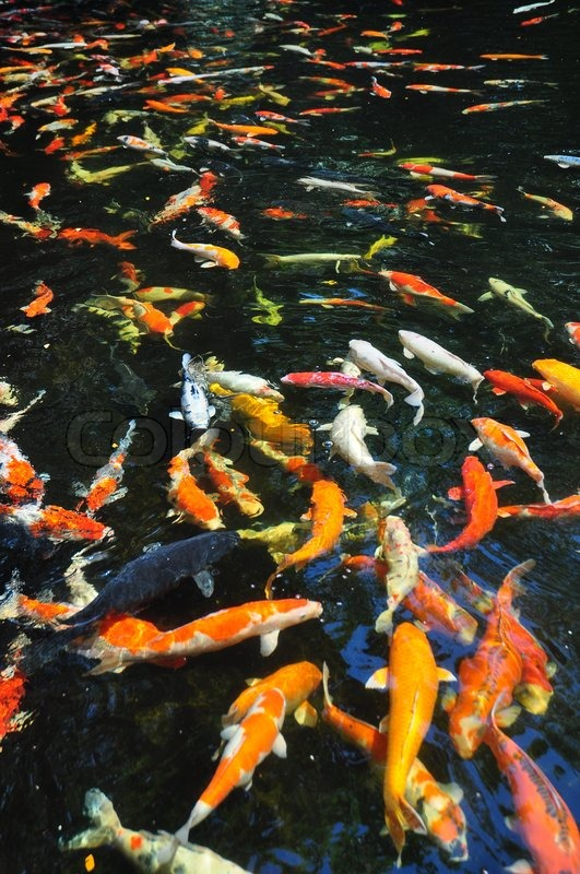 Beautiful golden koi fish in the fish ponds stock photo for Surface fish ponds