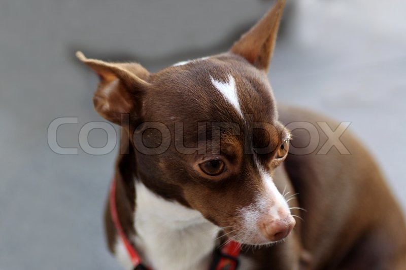 Chihuahuas are the smallest race dogs in the world, stock photo