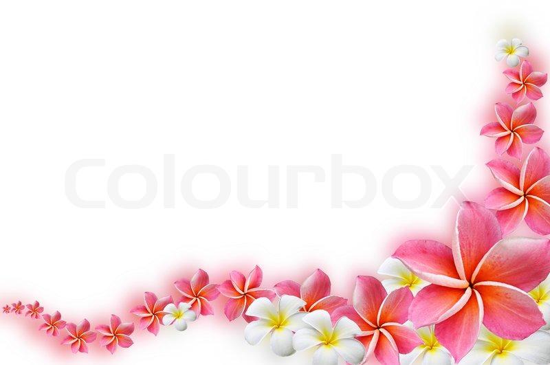Frangipani flowers border design | Stock Photo | Colourbox