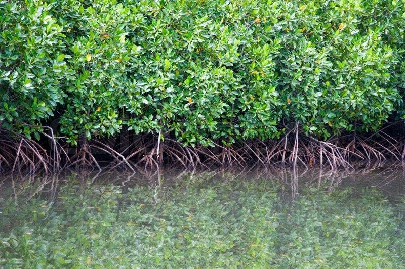 White Mangrove Pics
