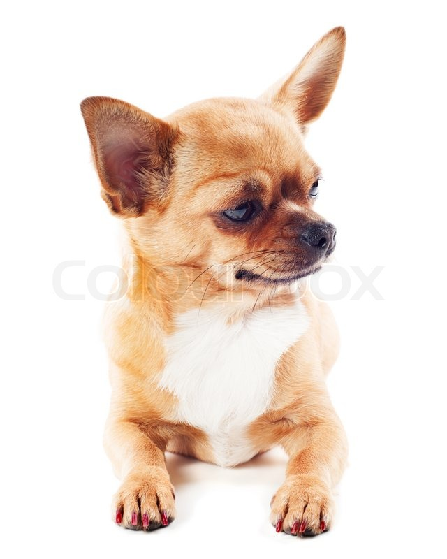 Red Chihuahua Stock image of 'red chihuahua