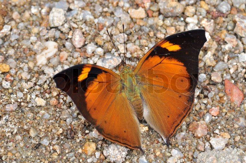 orange schmetterling herbstblatt doleschallia bisaltide stockfoto colourbox. Black Bedroom Furniture Sets. Home Design Ideas
