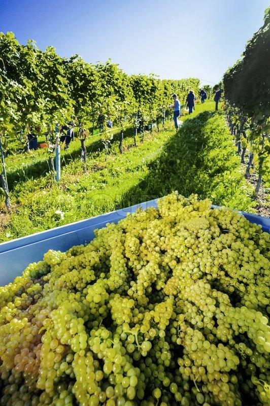 Weintrtauben on the vine in the vineyard, stock photo