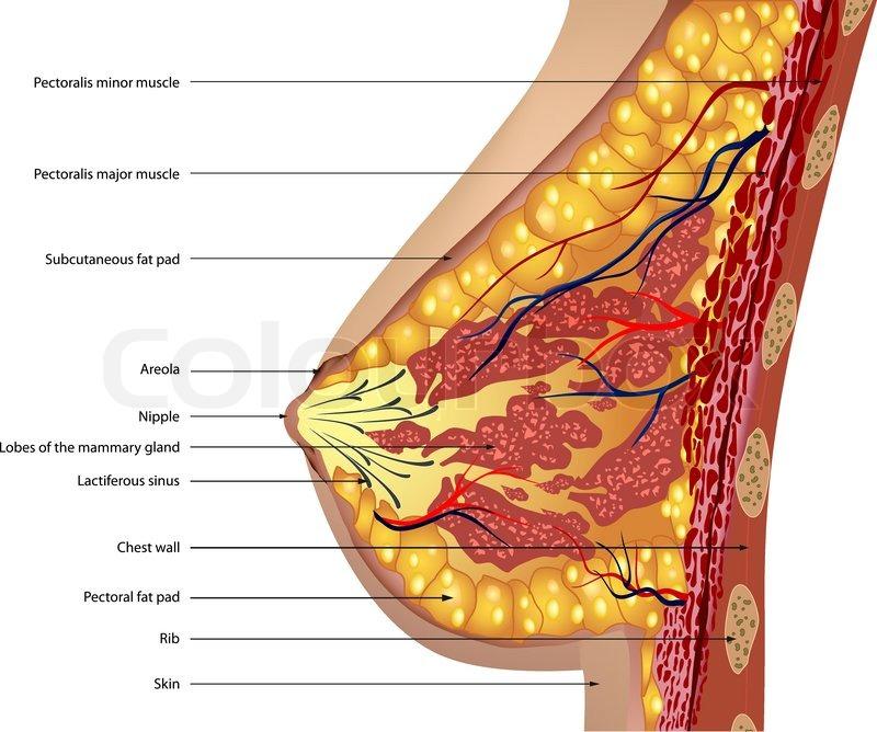 Anatomy of the breast Vector | Stock Vector | Colourbox