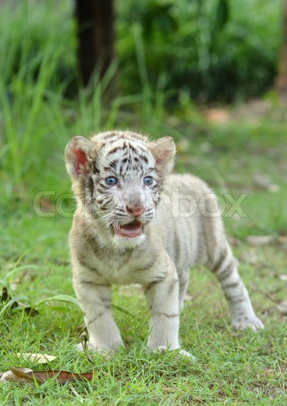 Baby white bengal tiger | Stock Photo | Colourbox