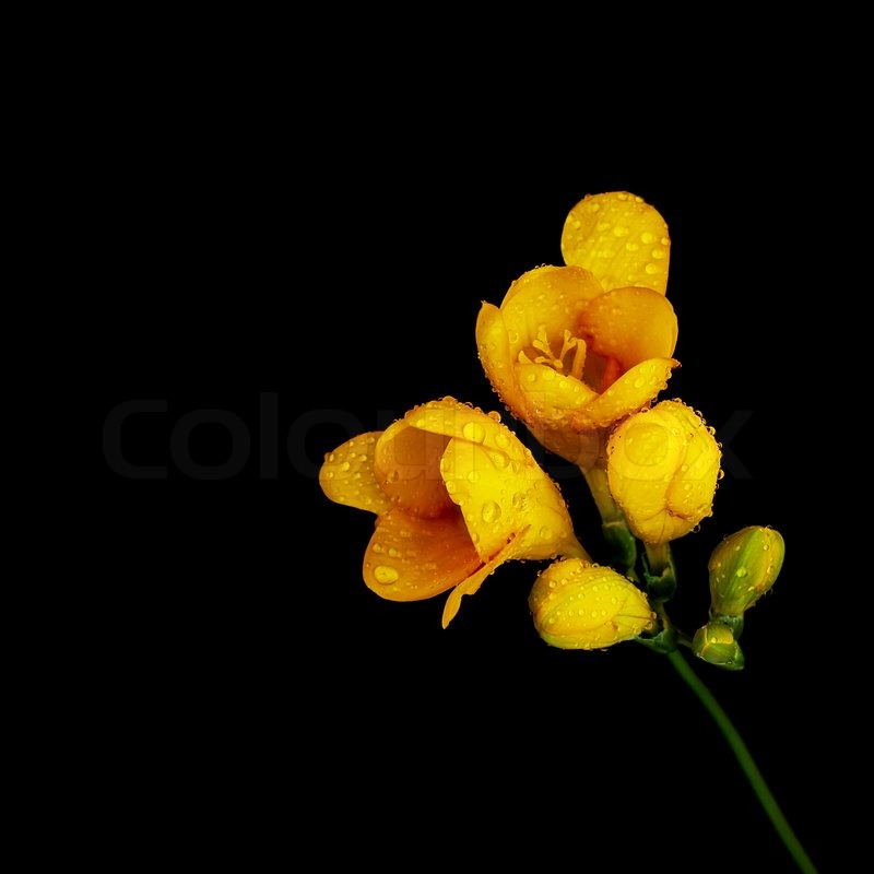 Photo of beautiful yellow flower isolated on black background photo of beautiful yellow flower isolated on black background blooming season decorative floral bouquet dew drops on pretty plant petals romantic gift mightylinksfo