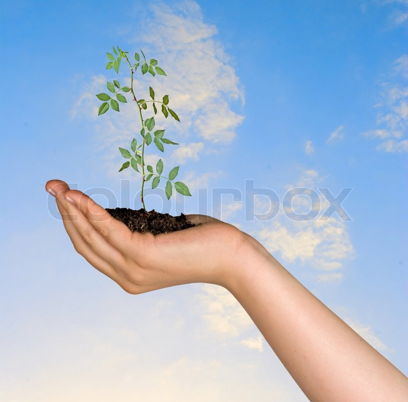 Rose in palm as a symbol of nature protection, stock photo
