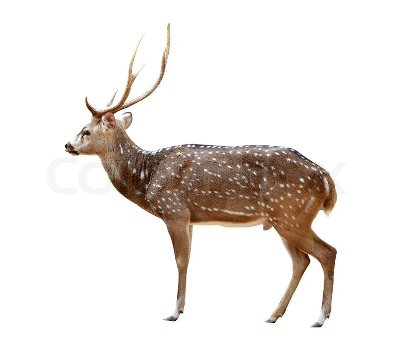Male Axis Deer Isolated Stock Photo Colourbox
