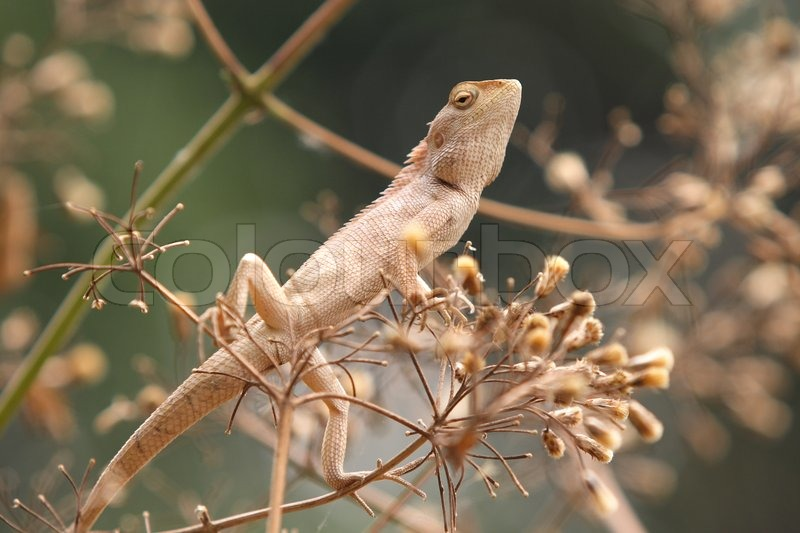 Stock image of 'Thai chameleon'