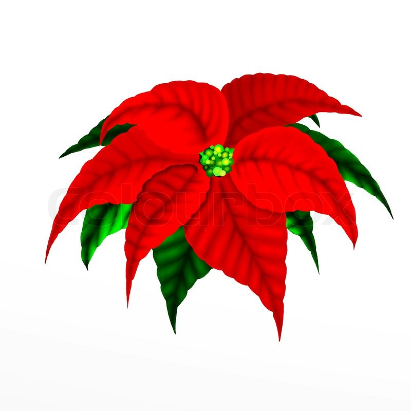 christmas poinsettia flower stock photo colourbox