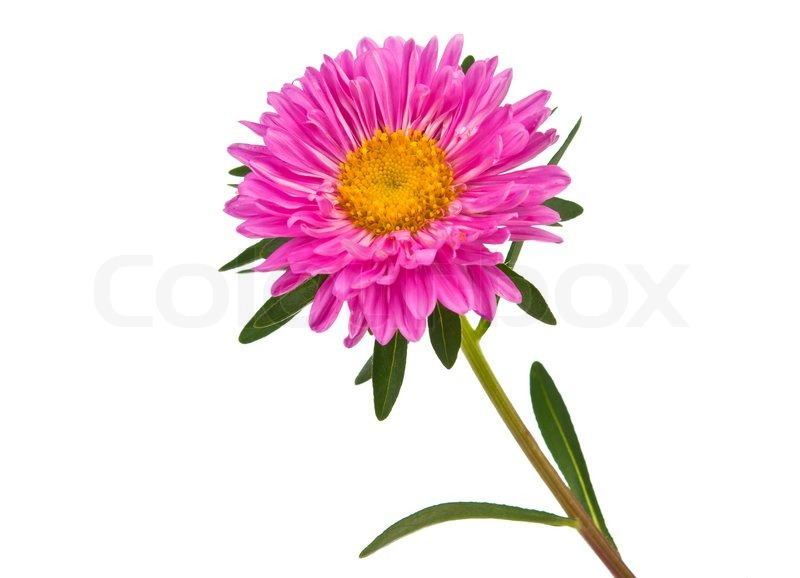 pink aster flower  stock photo  colourbox, Beautiful flower
