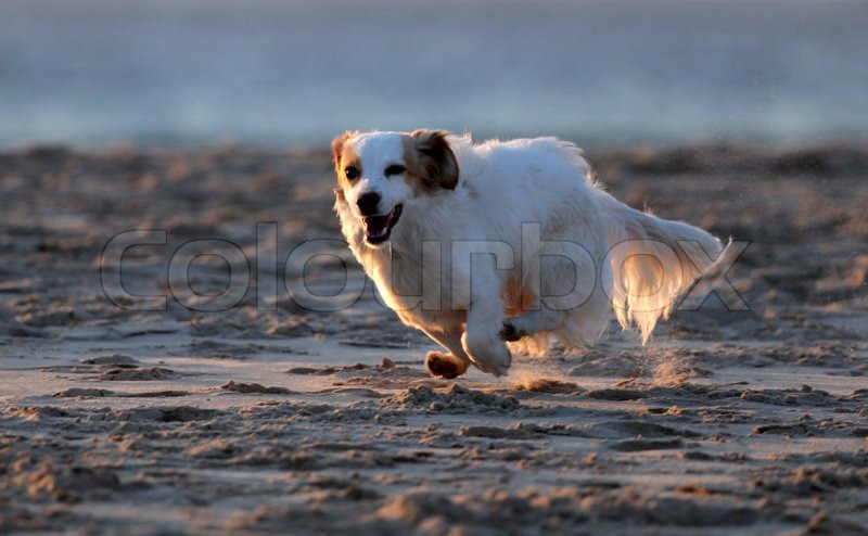 Small white dog running on the beach, stock photo