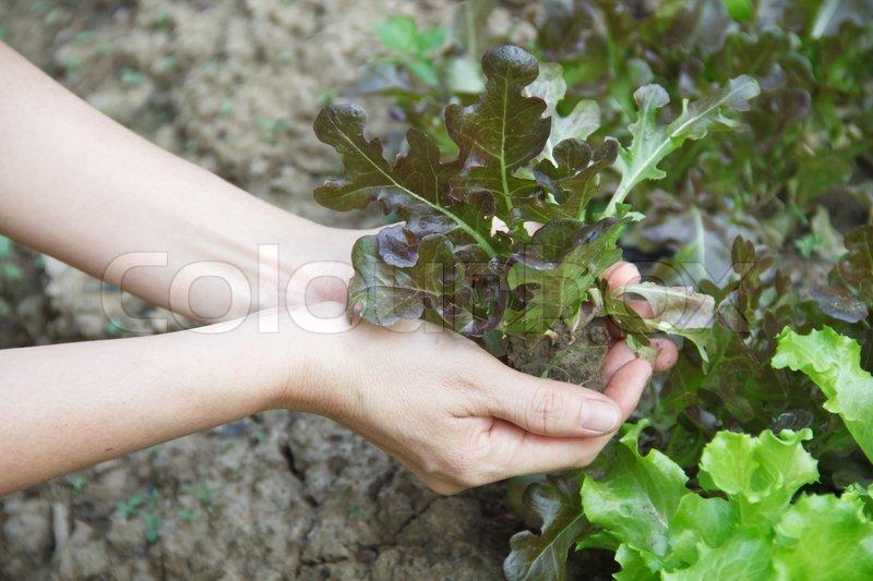 Woman works on kitchen garden, stock photo