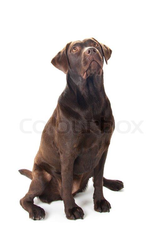 køb voksen hund
