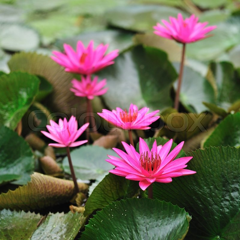 Mauve lotus flower blooming in the pond the lotus is national mauve lotus flower blooming in the pond the lotus is national flower for thailandindiakamp uchea and bengal lotus flower in asia is a important culture mightylinksfo