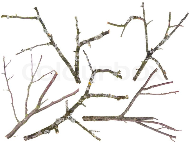 Old apple and cherries tree branches isolated, stock photo