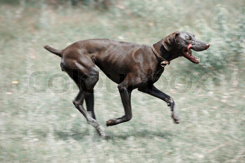 Dirty Dog Running Stock Photo Colourbox