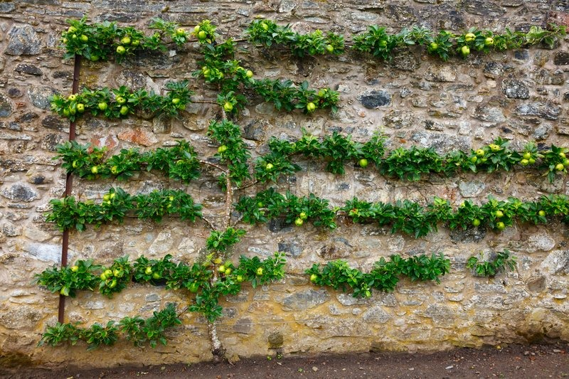 Stock image of 'Horizontal espalier apple tree'