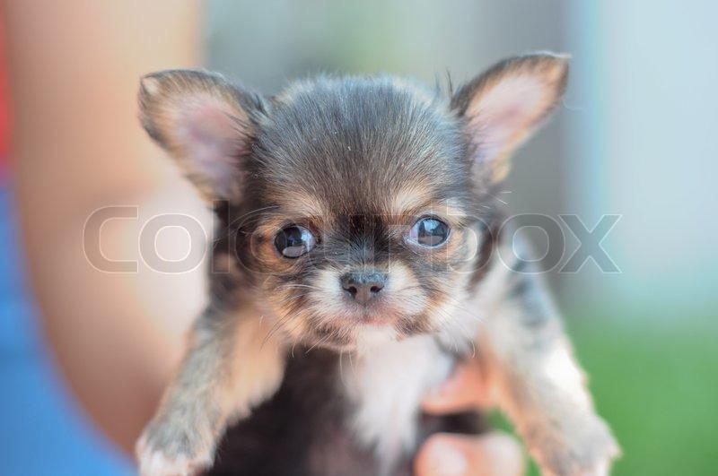 Chihuahua Welpen in der Hand gehalten | Stock Bild | Colourbox