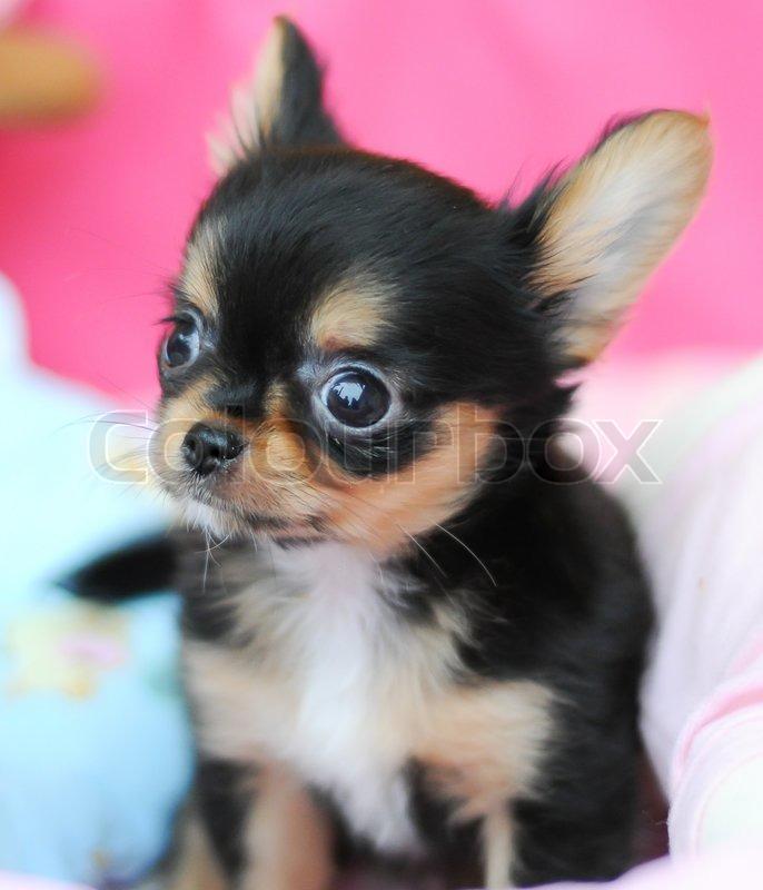 Cute Black Chihuahua Stock Image Colourbox