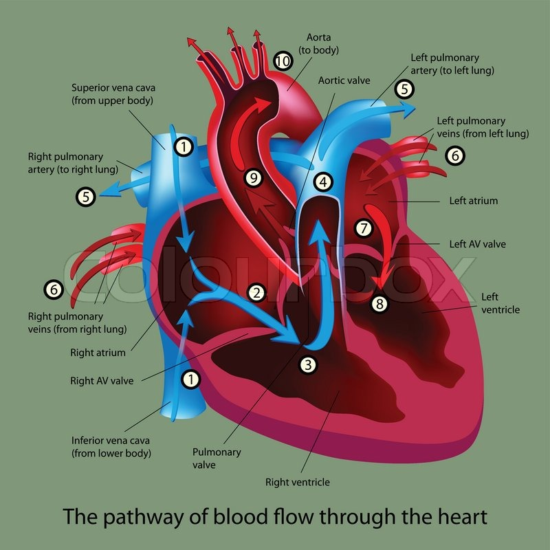 Blood Flow Through The Heart Stock Vector Colourbox