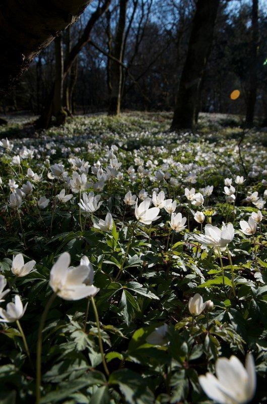 Weißer Frühlingsblumen Teppich Waldboden  Stockfoto