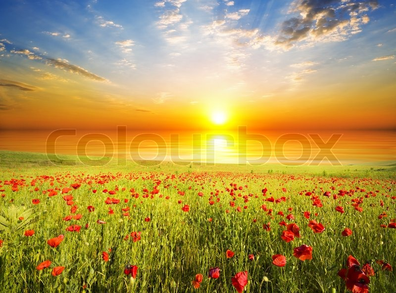 Poppies against the sunset sky, stock photo