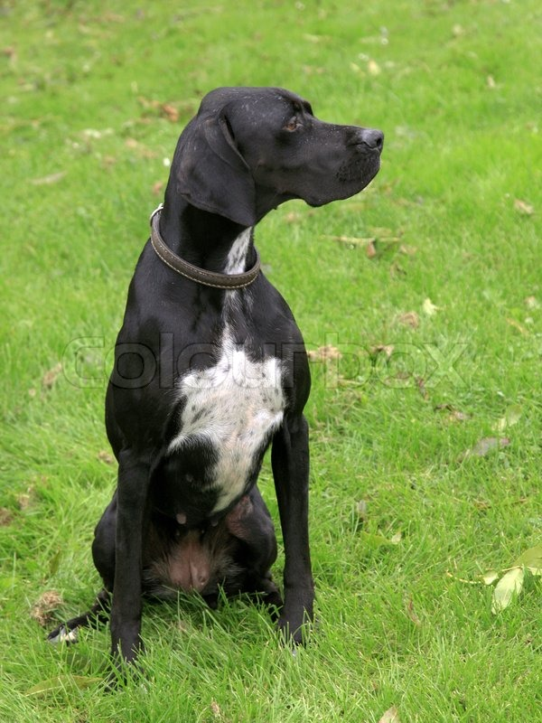 Black english pointer dog on the summer meadow | Stock ...