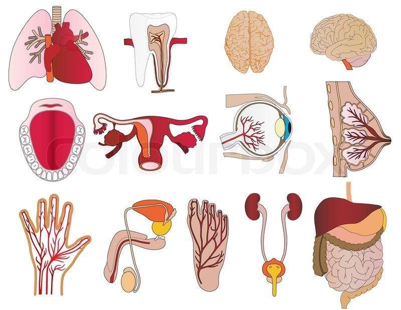 Vector eine Reihe von Körpern eine Leber Lunge Zahn ein Unterkiefer ...