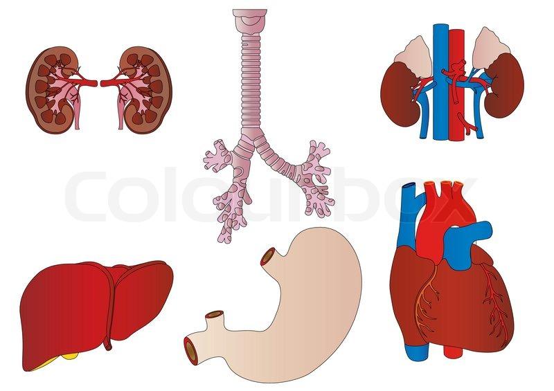 Vector eine Reihe von einer internen der Person eine Niere, eine ...